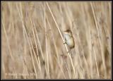 Reed-Warbler3.jpg