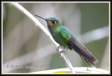 Green-crowned-brilliant.jpg