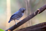 black-chinned-antbird.jpg