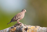 common-ground-dove.jpg
