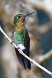 glowing-puffleg-fem.jpg