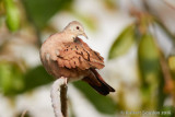 ruddy-ground-dove.jpg