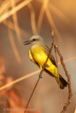 tropical-kingbird.jpg