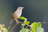 wedge-tailed-grassfinch-2.jpg