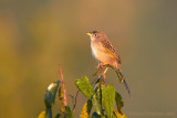 wedge-tailed-grassfinch.jpg