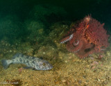 Giant Pacific Octopus and Lingcod