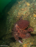 Giant Pacific Octopus, Emerging From It's Den