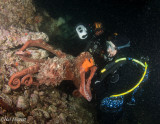 Small Giant Pacific Octopus Climbing on to Diver