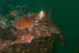 Giant Pacific Octopus, Diving at Home