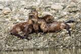 Aquatic Mammals