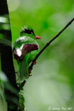 (Cissa jefferyi) Bornean Green Magpie
