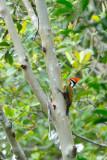 (Dinopium rafflesii)Olive-backed Woodpecker ♂