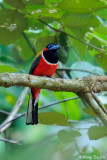 (Harpactes kasumba) Red-naped Trogon ♂