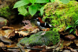 (Enicurus ruficapillus) Chestnut-naped Forktail ♀