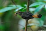 (Trichixos pyrropygus) Rufous-tailed Shama ♀