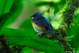 (Cyornis superbus)*Bornean Blue Flycatcher ♂