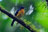 (Cyornis caerulatus) Large-billed Blue Flycatcher ♂