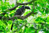 (Anorrhinus galeritus) Bushy-crested Hormbill ♂