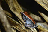 (Rana luctuosa) Mohogany Frog
