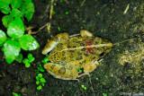 (Fejervarya limnocharis) Grass Frog