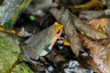 (Kalophrynus intermedius) Intermediate Sticky Frog