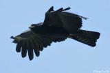 (Ictinaetus malayensis)Black Eagle