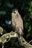 (Spilornis cheela)Crested Serpent Eagle