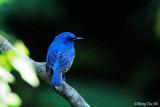 (Cyornis turcosus rupatensis) Malaysian Blue Flycatcher ♂