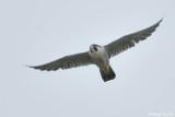 (Falco pereginus) Peregrine Falcon