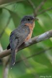 (Cacomantis variolosus sepulcralis) Brush Cuckoo