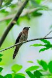 (Cacomantis variolosus sepulcralis) Brush Cuckoo - Immature