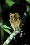 (Otus rufescens) Reddish Scops Owl