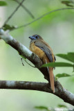 (Harpactes kasumba) Red-naped Trogon ♀