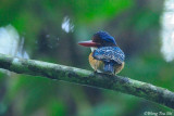 (Lacedo pulchella) Banded Kingfisher ♂