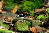 (Enicurus ruficapillus) Chestnut-naped Forktail ♂