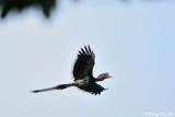 (Buceros vigil ) Helmeted Hornbill ♂