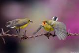 (Nectarinia jugularis ornata) Olive-backed Sunbird