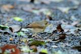 (Luscinia cyane) Siberian Blue Robin ♀