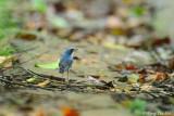 (Luscinia cyane) Siberian Blue Robin ♂