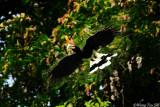 (Buceros rhinoceros) Rhinoceros Hornbill ♂