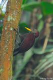 (Blythipicus rubiginosus) Maroon Woodpecker ♂