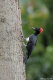 (Dryocopus javensis)White-bellied Woodpecker ♀