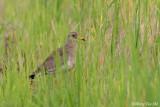 (Vanellus cinereus) Grey-headed Lapwing