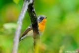 (Ficedula mugimaki) Mugimaki Flycatcher ♂