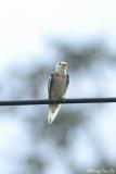 (Hirunda tahitica) Pacific Swallow