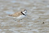 Waders (Plovers)