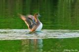 (Anas penelope) Eurasian Wigeon