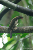 (Indicator archipelagicus) Malaysian Honeyguide ♂