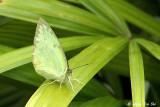 (Catopsilia pomona) Lemon Emigrant