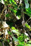 (Cacomantis sonneratii) Banded Bay Cuckoo